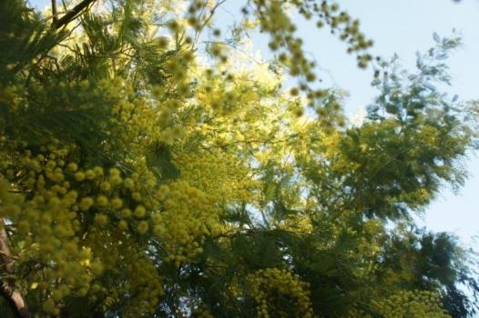 mimose del giardino