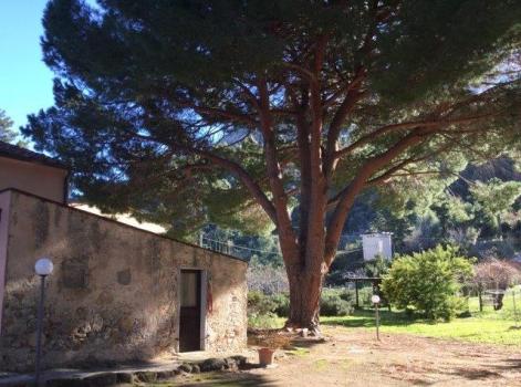 grande pino davanti casa